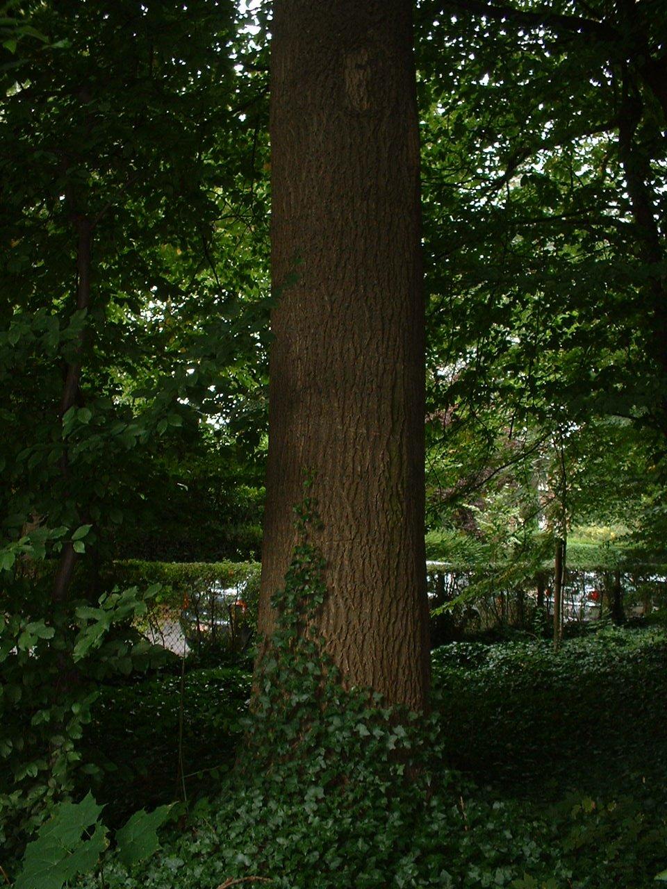 Frêne commun – Uccle, Parc Cherridreux, parc privé –  16 Août 2005