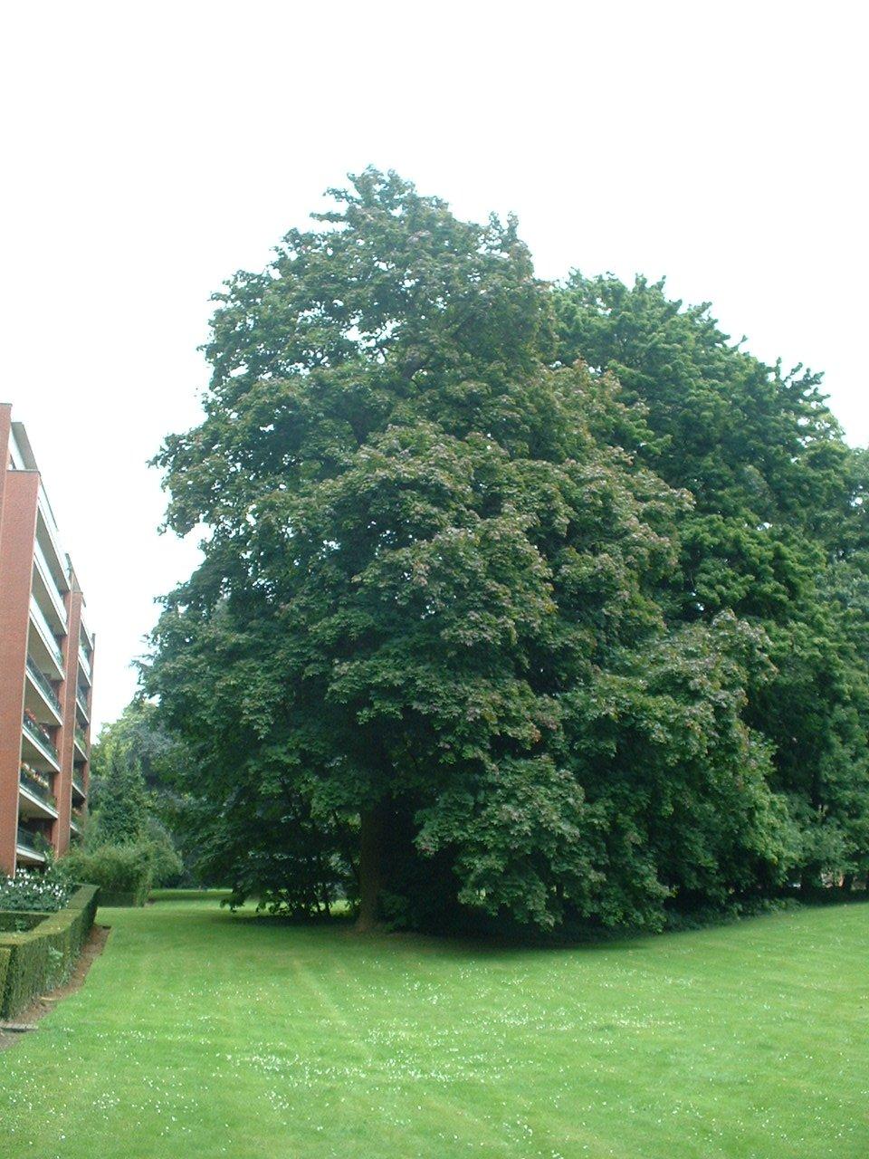 Acer platanoides f. rubrum – Uccle, Parc Cherridreux, parc privé –  16 Août 2005