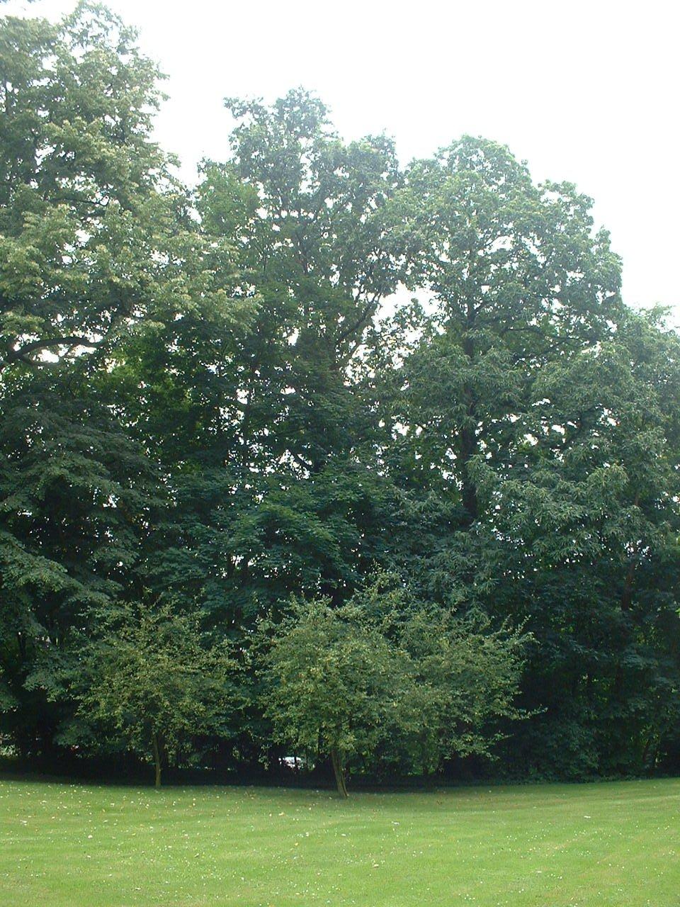 Chêne pédonculé – Uccle, Parc Cherridreux, parc privé –  16 Août 2005