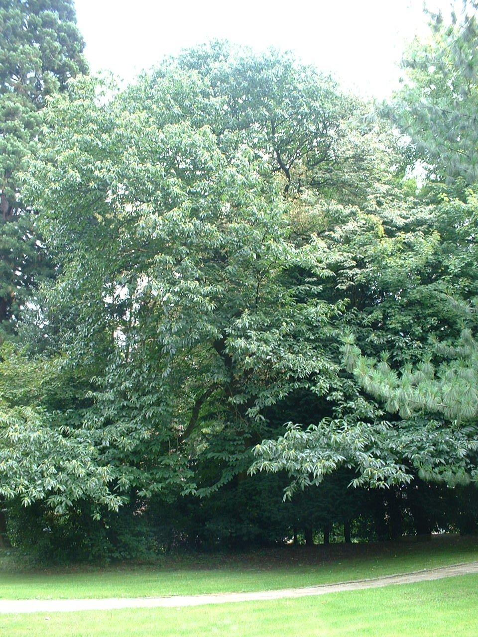 Castanea sativa f. aureomarginata – Uccle, Parc Cherridreux, parc privé –  16 Août 2005