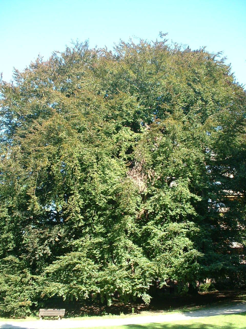 Hêtre pourpre – Uccle, Parc Cherridreux, parc privé –  18 Août 2005