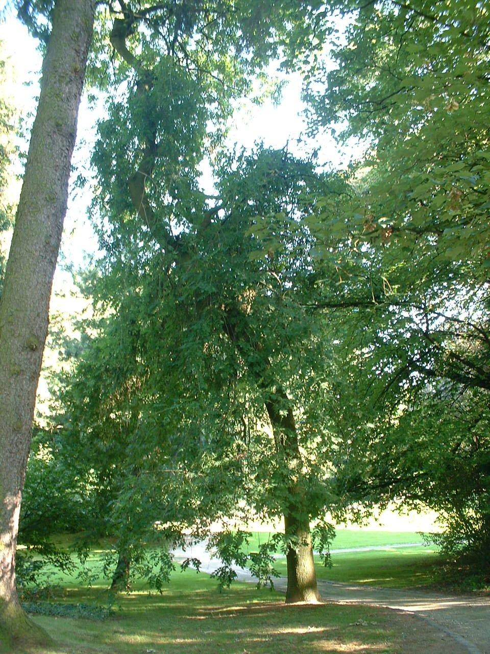 Frêne pleureur – Uccle, Parc Cherridreux, parc privé –  18 Août 2005