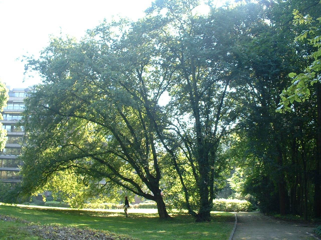 Erable champêtre – Uccle, Parc Cherridreux, parc privé –  18 Août 2005
