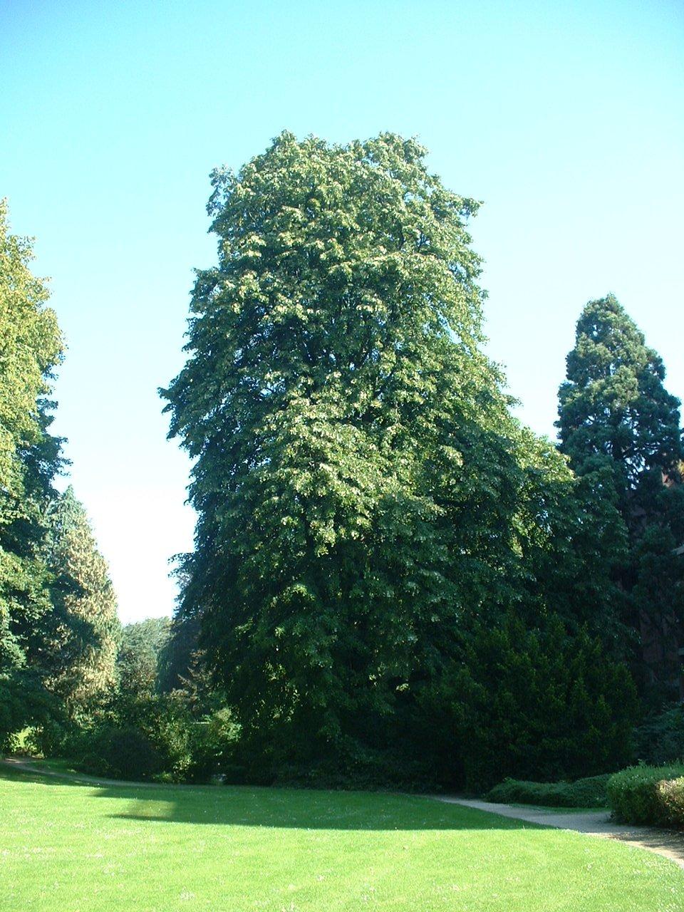 Tilleul argenté – Uccle, Parc Cherridreux, parc privé –  18 Août 2005