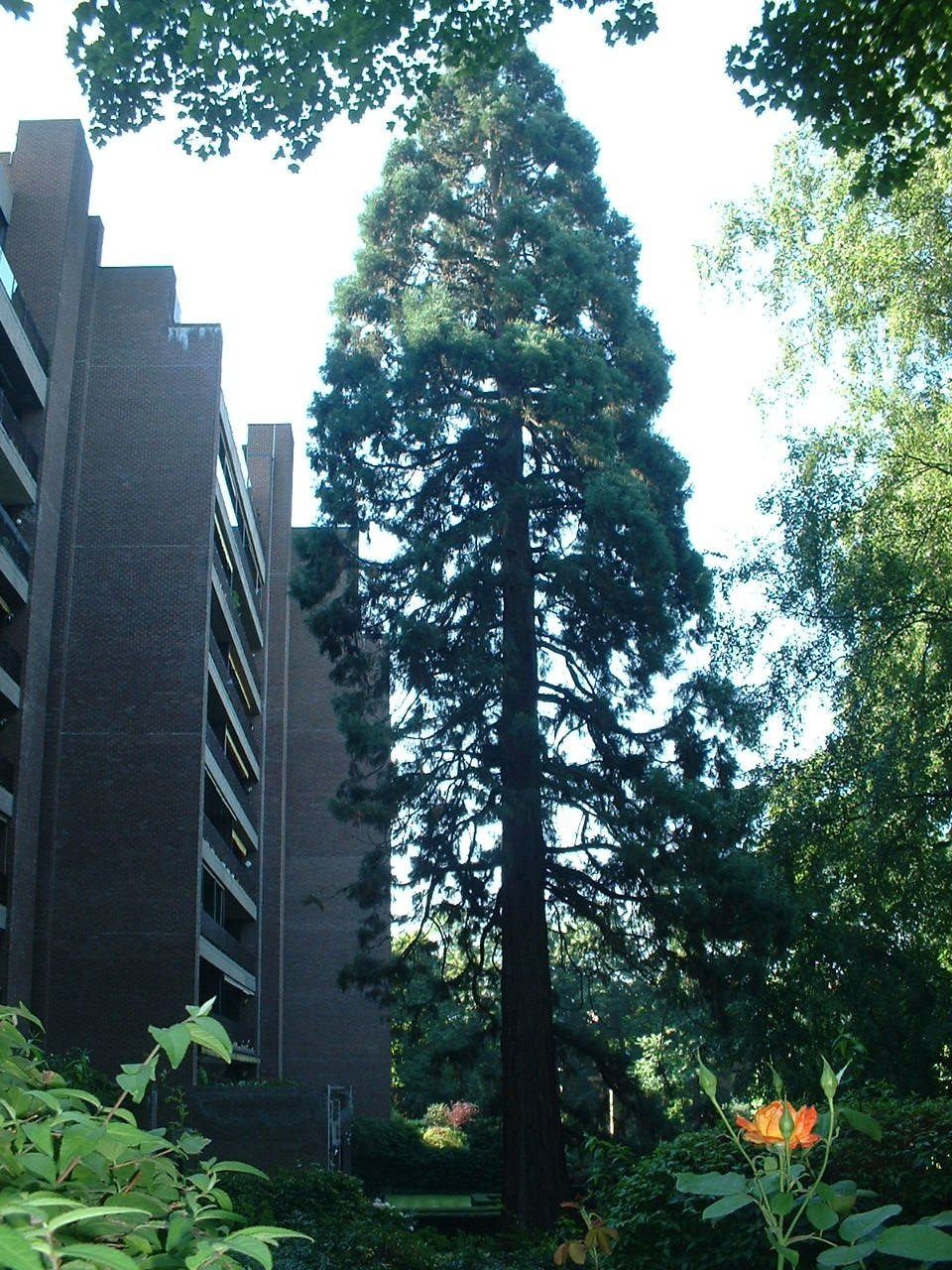 Sequoia géant – Uccle, Parc Cherridreux, parc privé –  18 Août 2005
