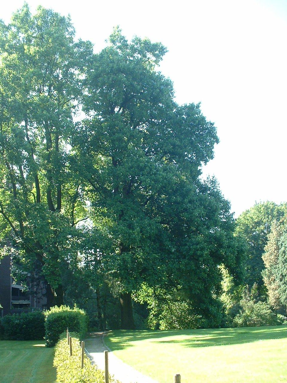 Tulipier de Virginie – Uccle, Parc Cherridreux, parc privé –  18 Août 2005