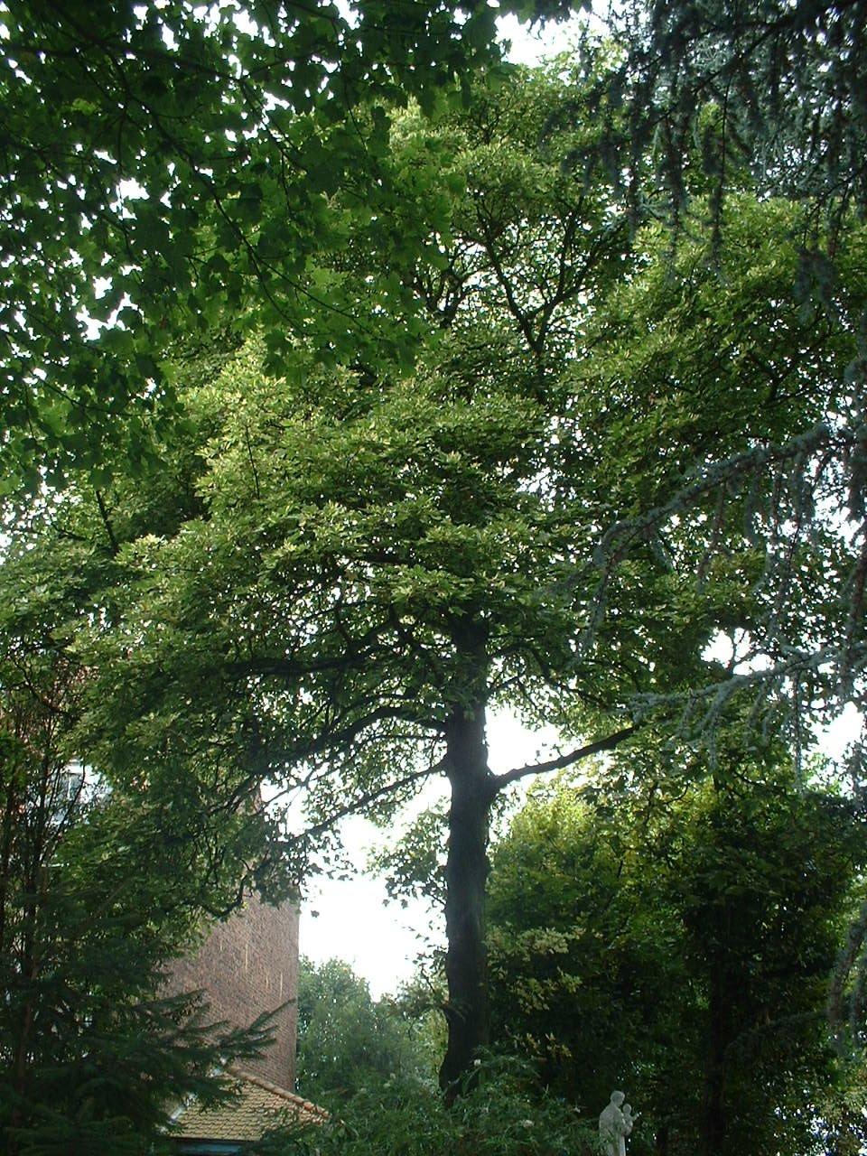 Acer pseudoplatanus f. aureovariegatum – Uccle, Avenue de Floréal, 53 –  26 Août 2005