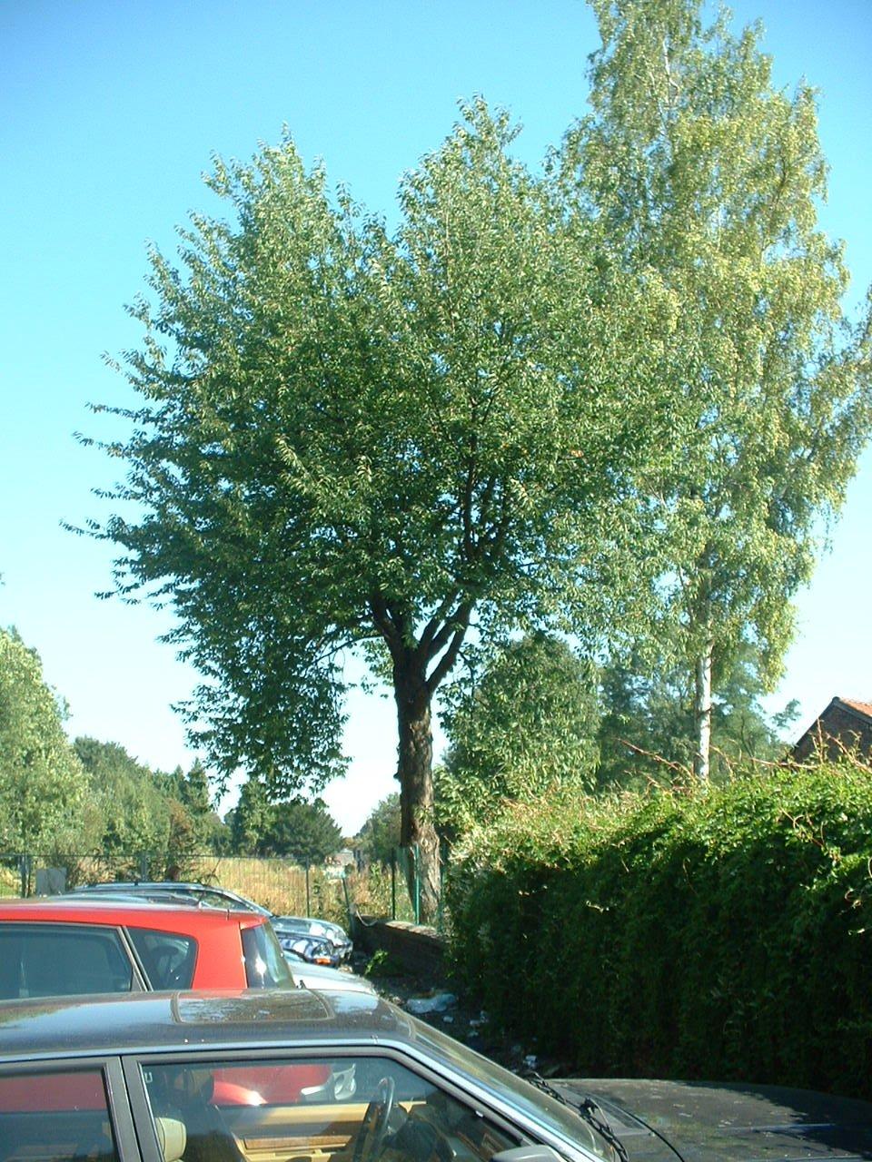 Merisier – Auderghem, Place Félix Govaert, 5 –  31 Août 2005