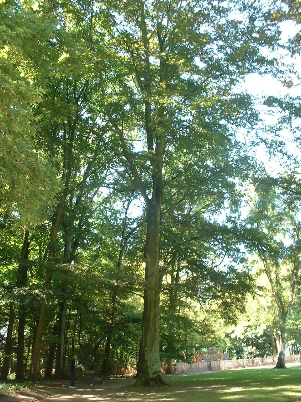 Hêtre pourpre – Jette, Avenue du Laerbeek –  29 Août 2005