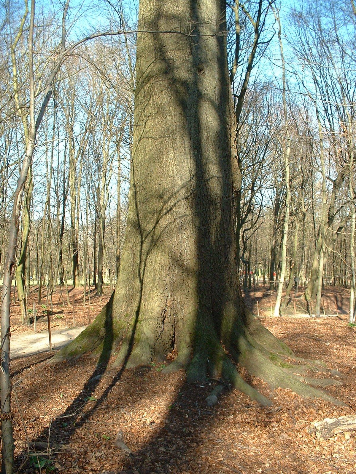 Hêtre d'Europe – Bruxelles, Bois de la Cambre, bois –  14 Mars 2003