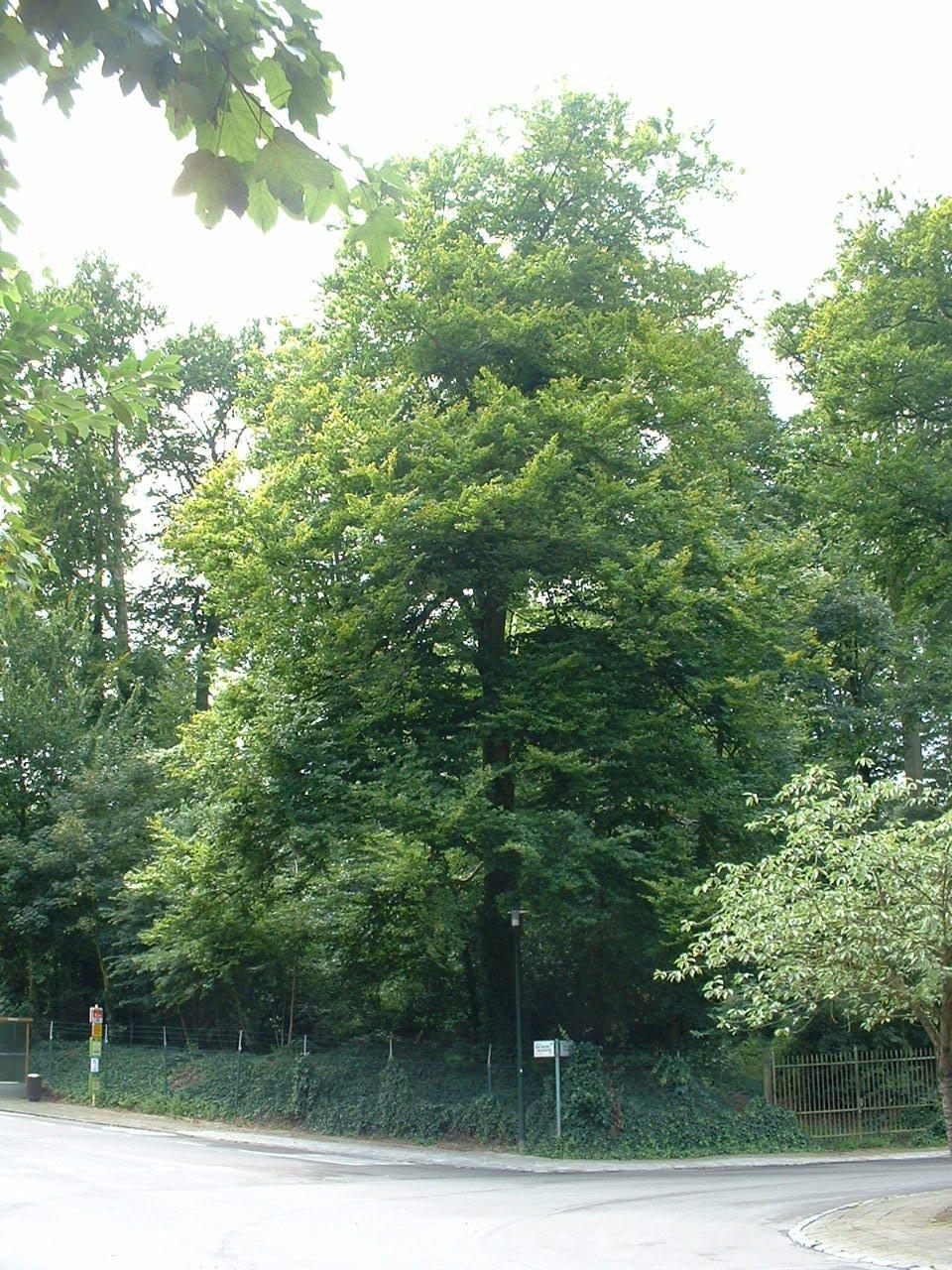 Hêtre d'Europe – Auderghem, Parc du château Sainte Anne, Rue du Vieux Moulin, 103 –  30 Août 2005