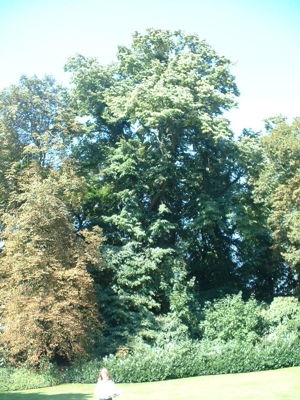Tilleul argenté – Auderghem, Parc du château Sainte Anne, Rue du Vieux Moulin, 103 –  30 Août 2005