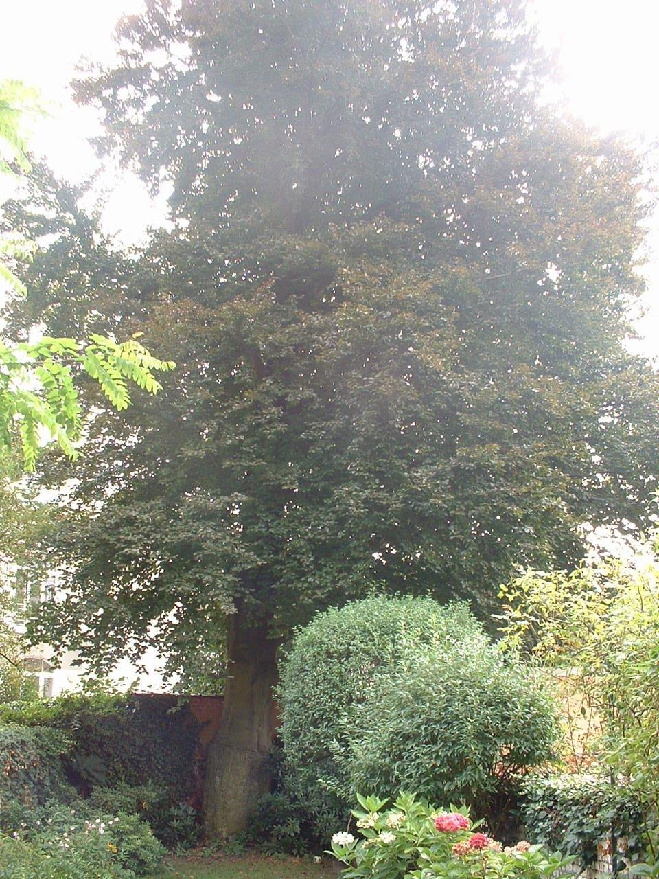 Hêtre pourpre – Uccle, Avenue Brugmann, 374 –  14 Septembre 2005