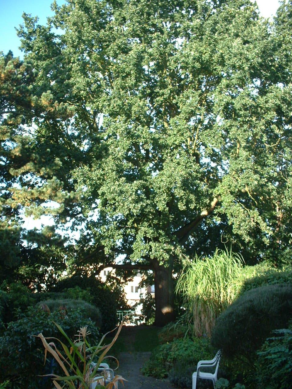 Chêne pédonculé – Uccle, Avenue Henri Pirenne, 19 –  27 Septembre 2005