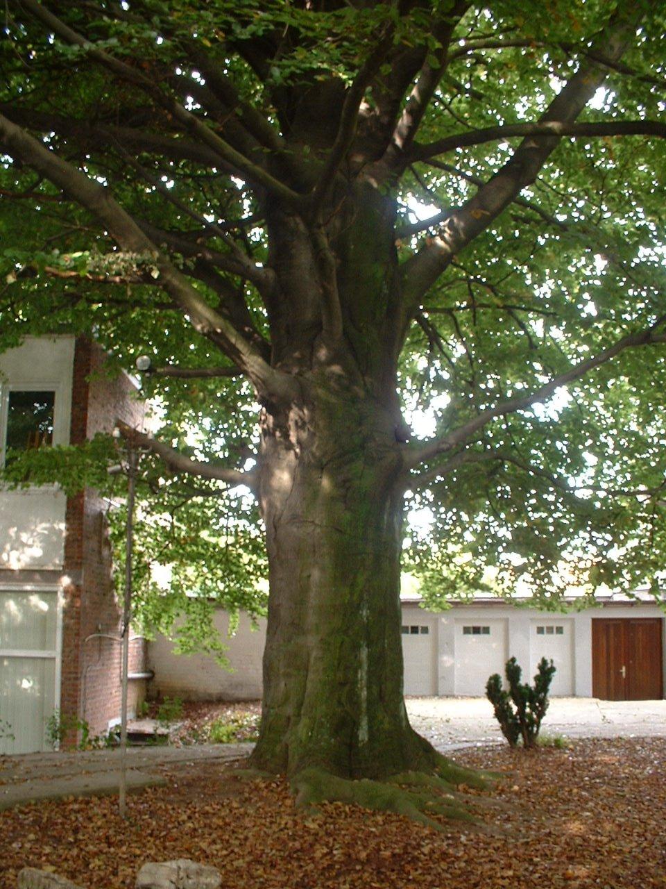 Rode beuk – Vorst, de Haveskerckelaan, 25 –  27 September 2005