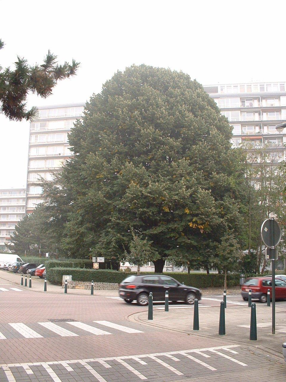 Tilleul argenté – Auderghem, Avenue Gabriel Emile Lebon, 51-53 –  05 Octobre 2005