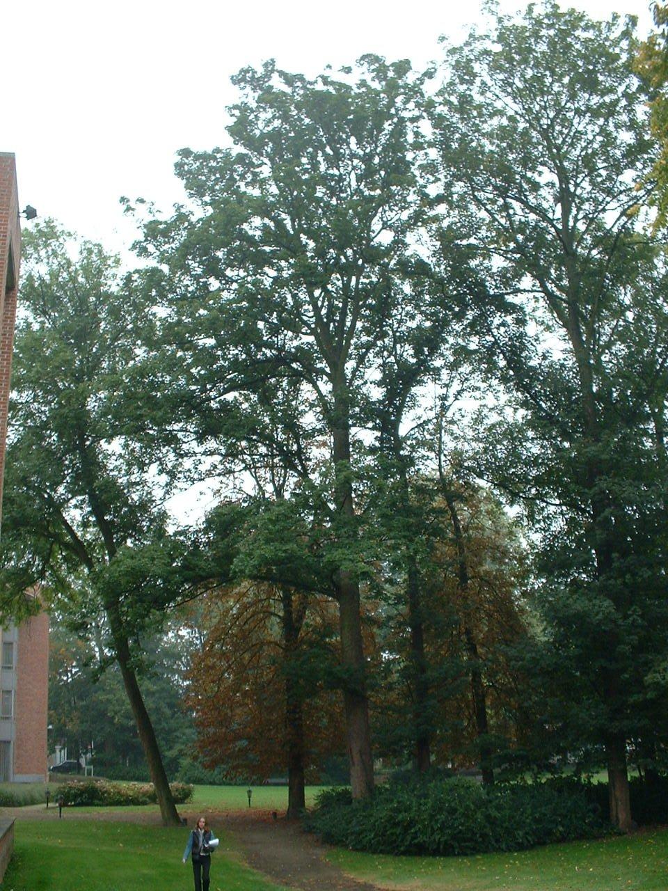 Erable sycomore – Molenbeek-Saint-Jean, Rue Paloke, 40 –  06 Octobre 2005