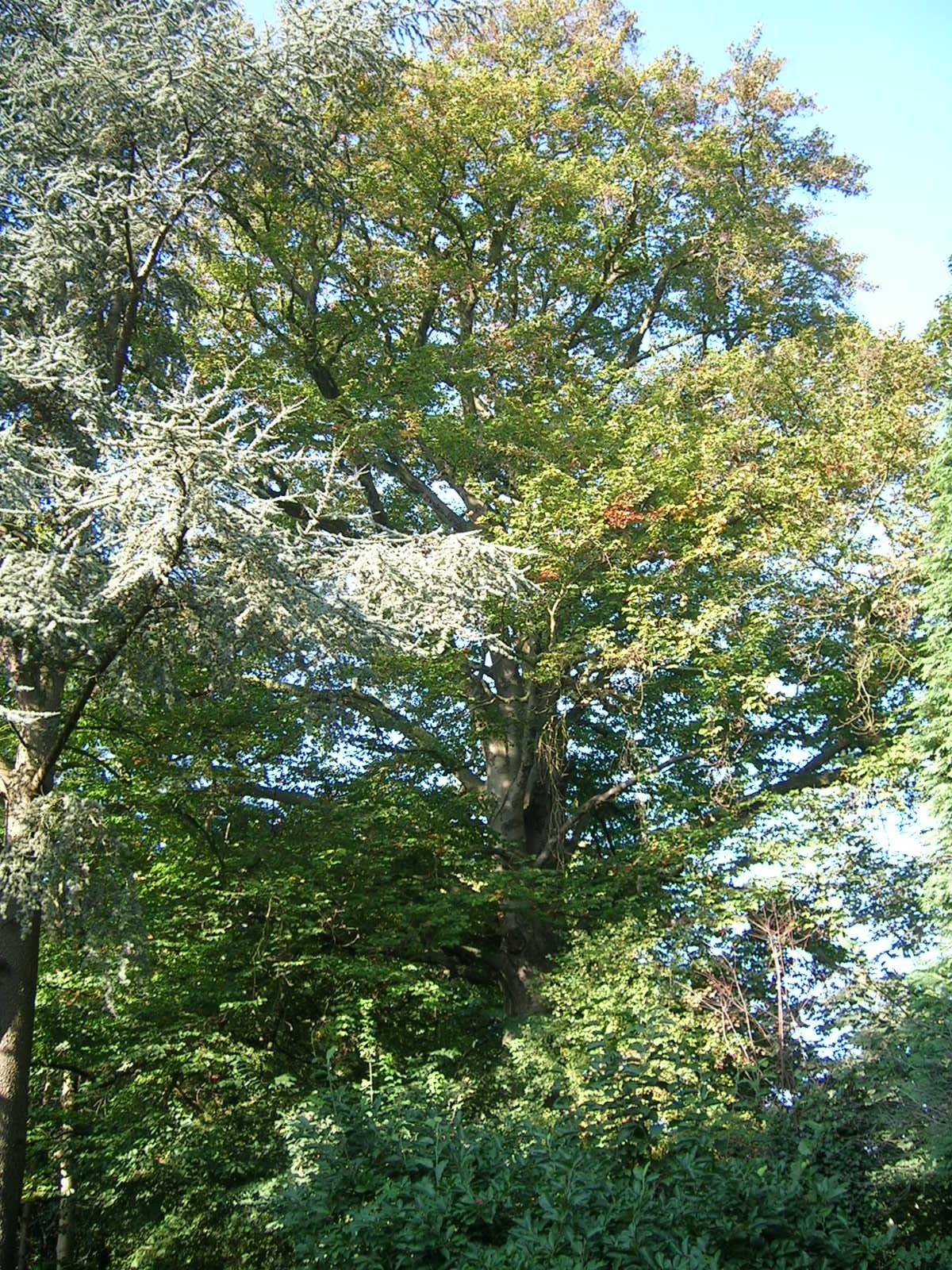 Hêtre pourpre – Auderghem, Avenue Cardinal Micara, 68 –  11 Octobre 2005