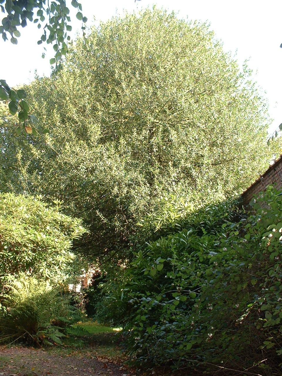 houx – Forest, Avenue Kersbeek, 162 –  18 Octobre 2005