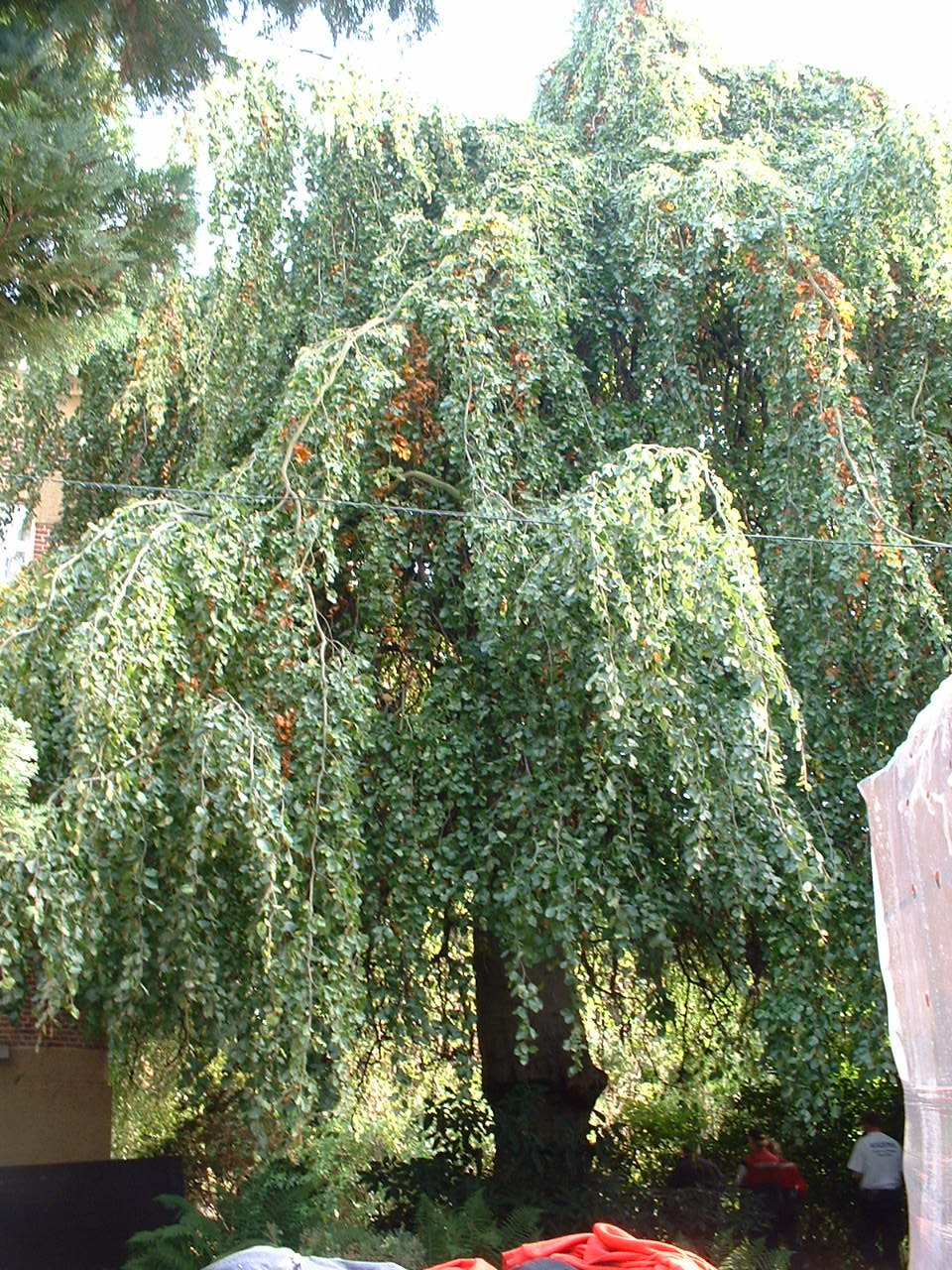Hêtre pleureur – Forest, Avenue Kersbeek, 162 –  18 Octobre 2005