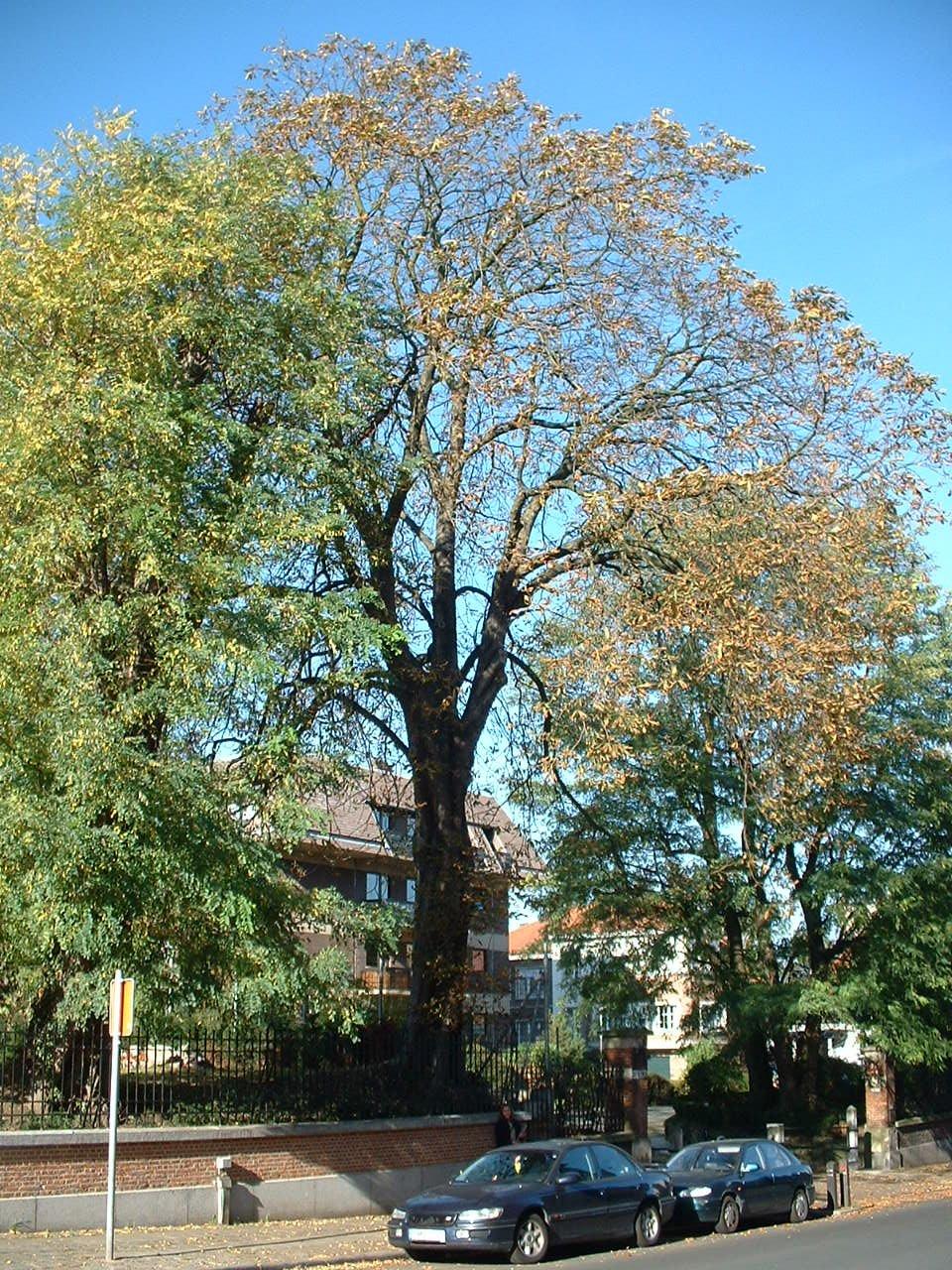 Marronnier commun – Forest, Rue du Charme, 1-3 –  27 Octobre 2005
