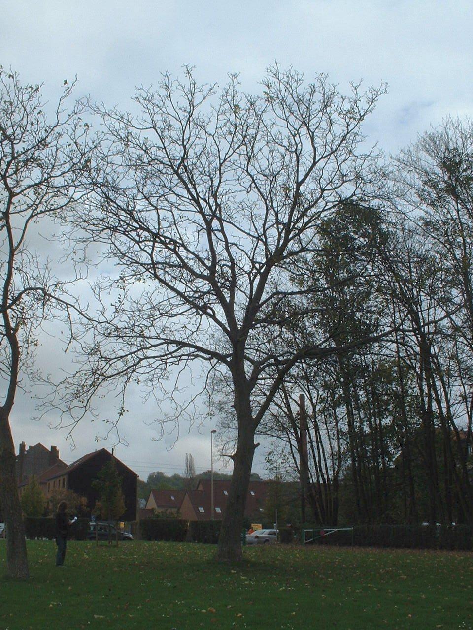 Noyer royal – Forest, Parc du Bempt, parc –  04 Novembre 2005