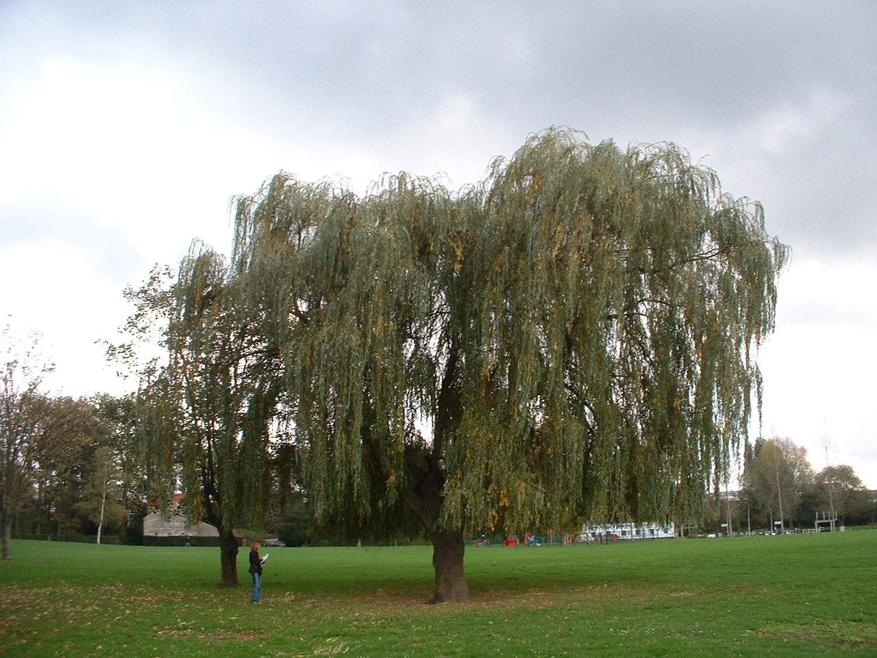Saule pleureur – Forest, Parc du Bempt, parc –  04 Novembre 2005