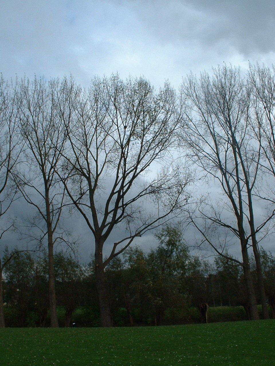 Peuplier du Canada – Forest, Parc du Bempt, parc –  04 Novembre 2005