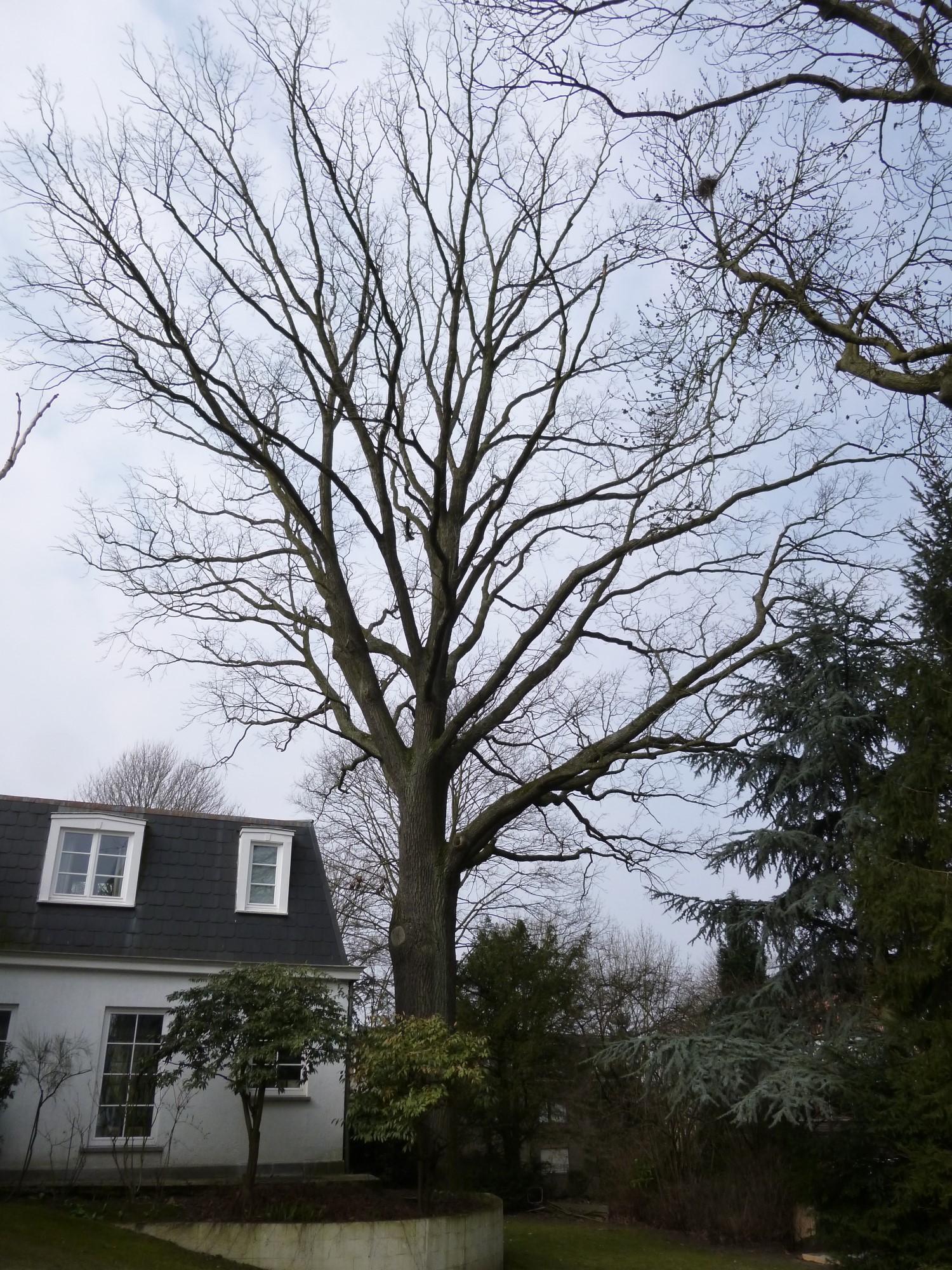 Chêne pédonculé – Forest, Avenue Reine Marie-Henriette, 119 –  04 Avril 2013