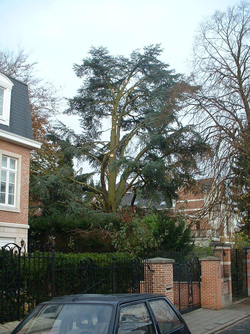 Cèdre bleu de l'Atlas – Auderghem, Avenue des Mésanges, 8 –  30 Novembre 2005
