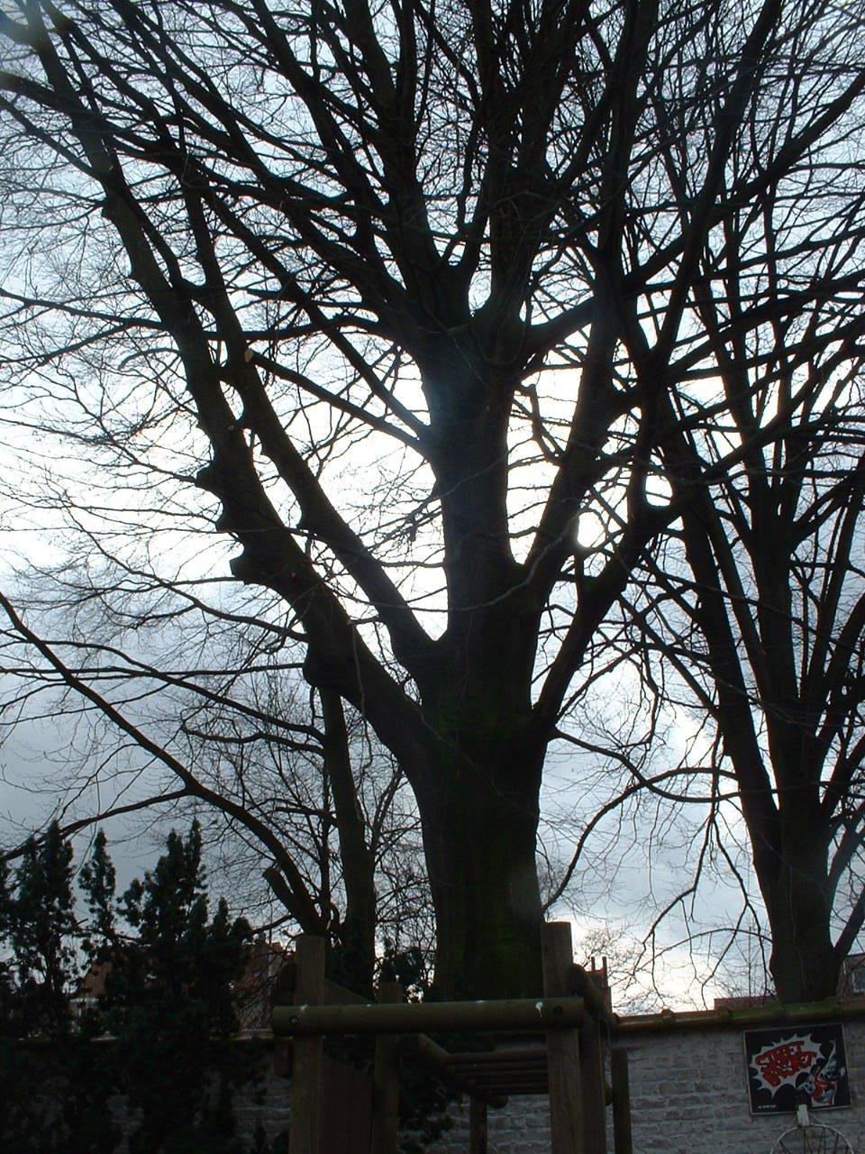 Hêtre pourpre – Etterbeek, Avenue de l'Armée, 87 –  27 Février 2006