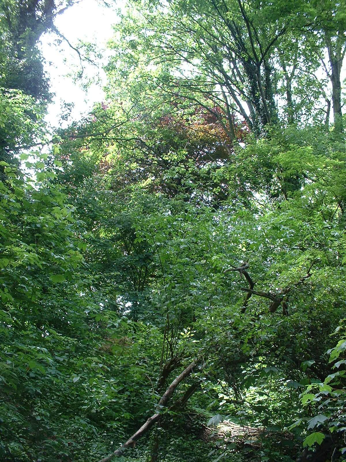 Hêtre pourpre – Schaerbeek, Parc Walckiers, parc –  26 Mai 2005
