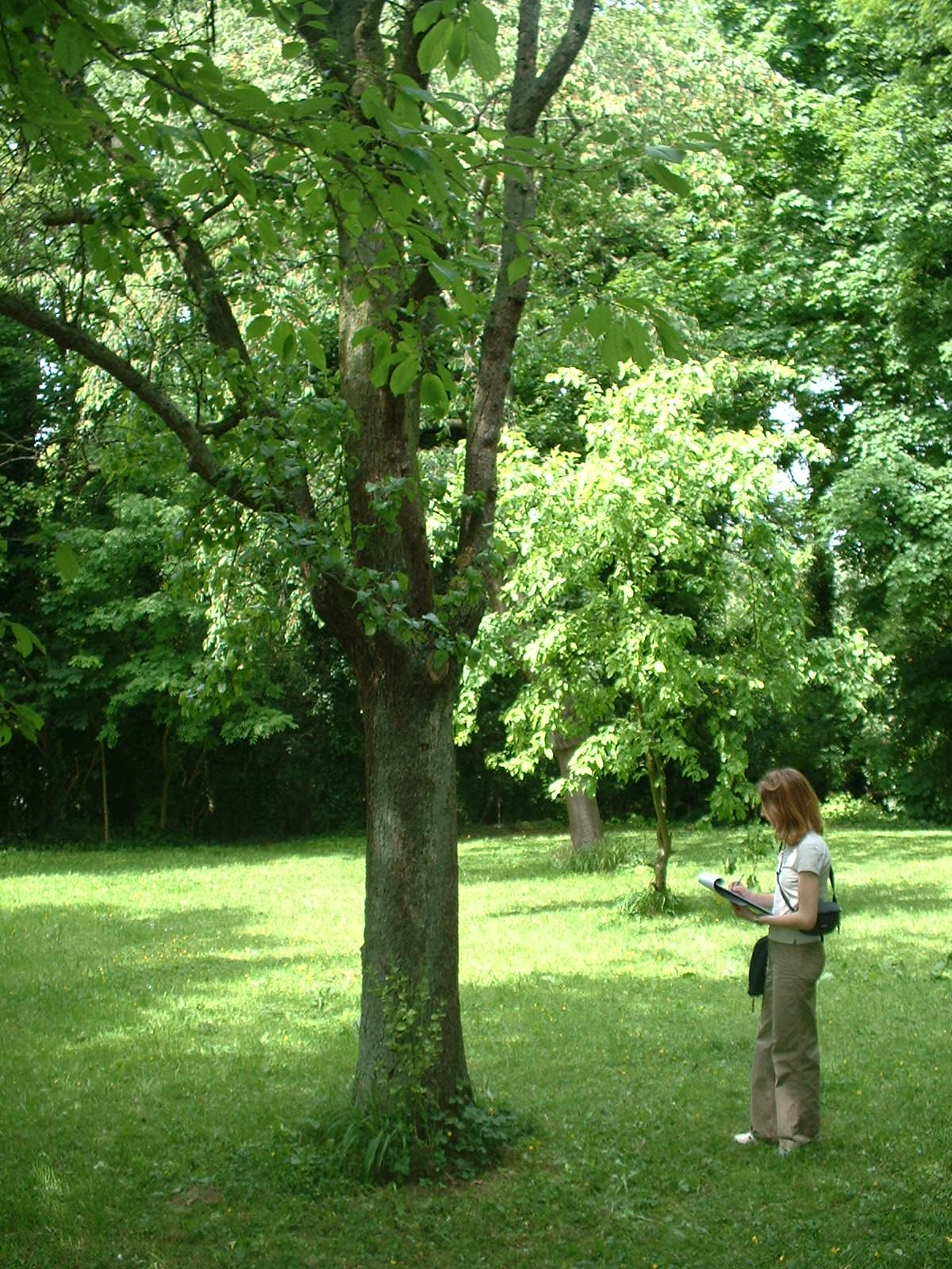 Poirier cultivé – Schaerbeek, Parc Walckiers, école –  26 Mai 2005
