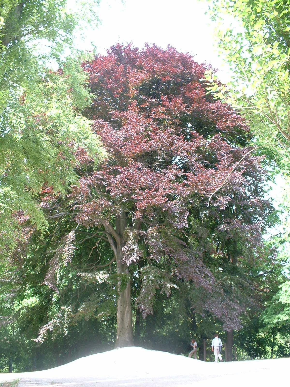Hêtre pourpre – Schaerbeek, Parc Walckiers, Rue Chaumontel –  26 Mai 2005