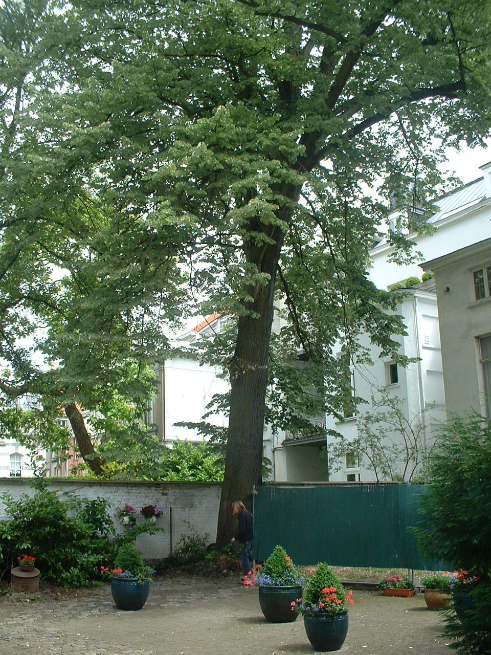 Tilleul argenté – Ixelles, Rue de Florence, 39 –  22 Juin 2006