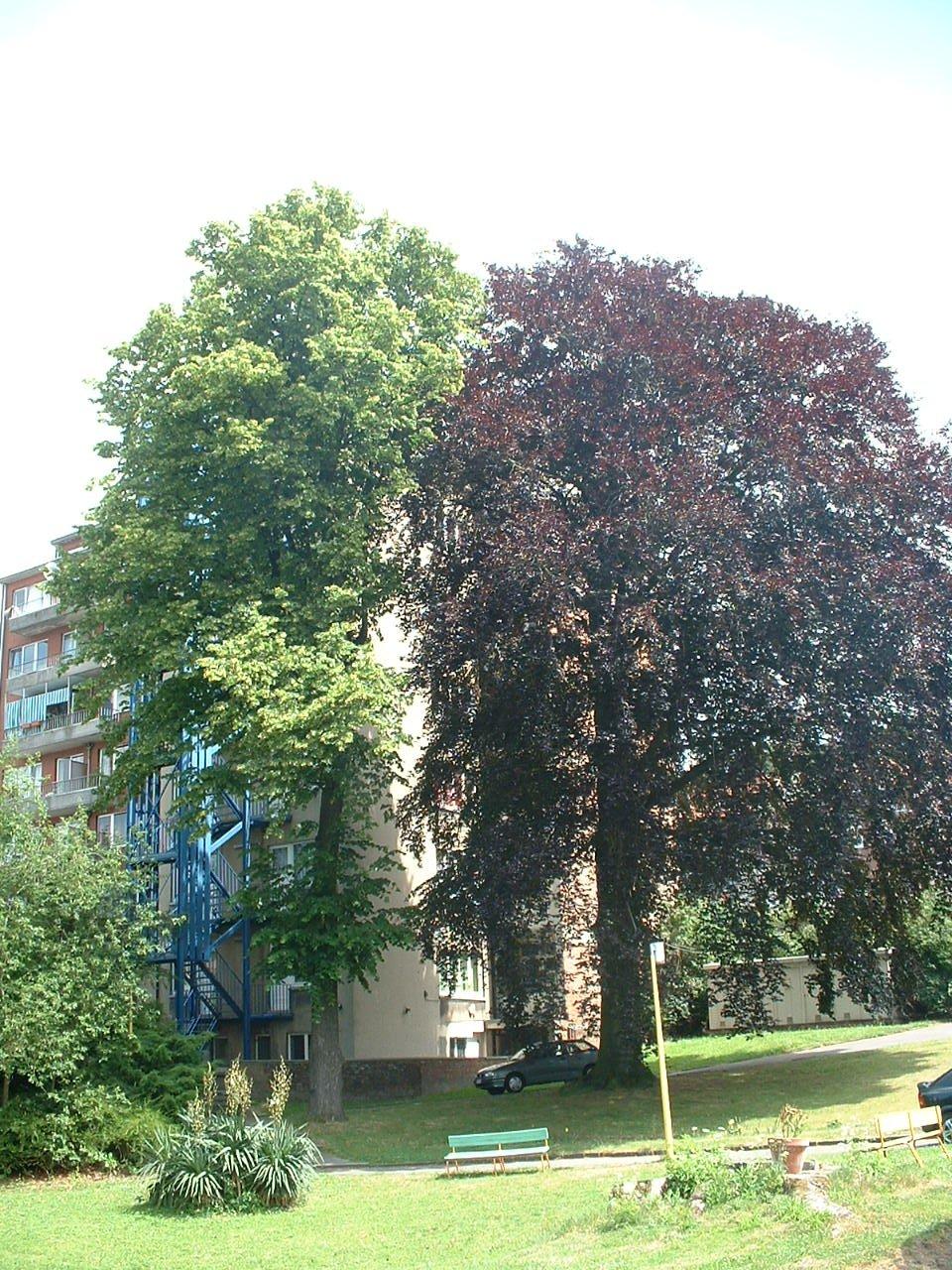 Tilleul à larges feuilles – Forest, Chaussée de Bruxelles, 150 –  23 Juin 2006