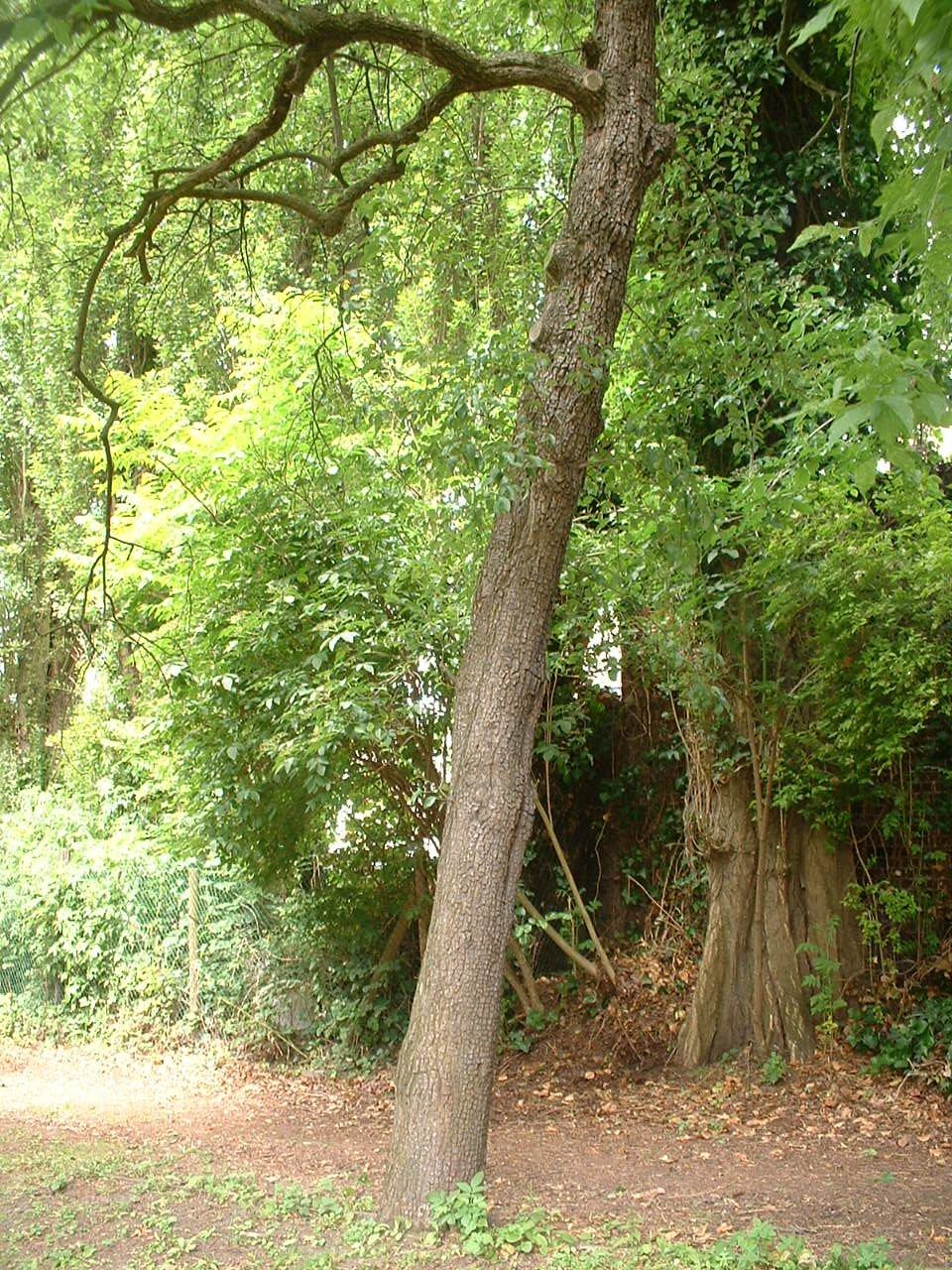 Poirier cultivé – Forest, Chaussée de Bruxelles, 150 –  23 Juin 2006