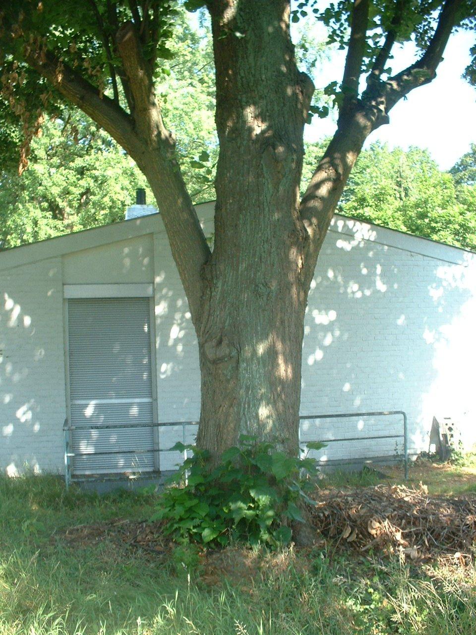 Tilia sp – Auderghem, Avenue Louis Vercauteren, 12 –  04 Juillet 2006