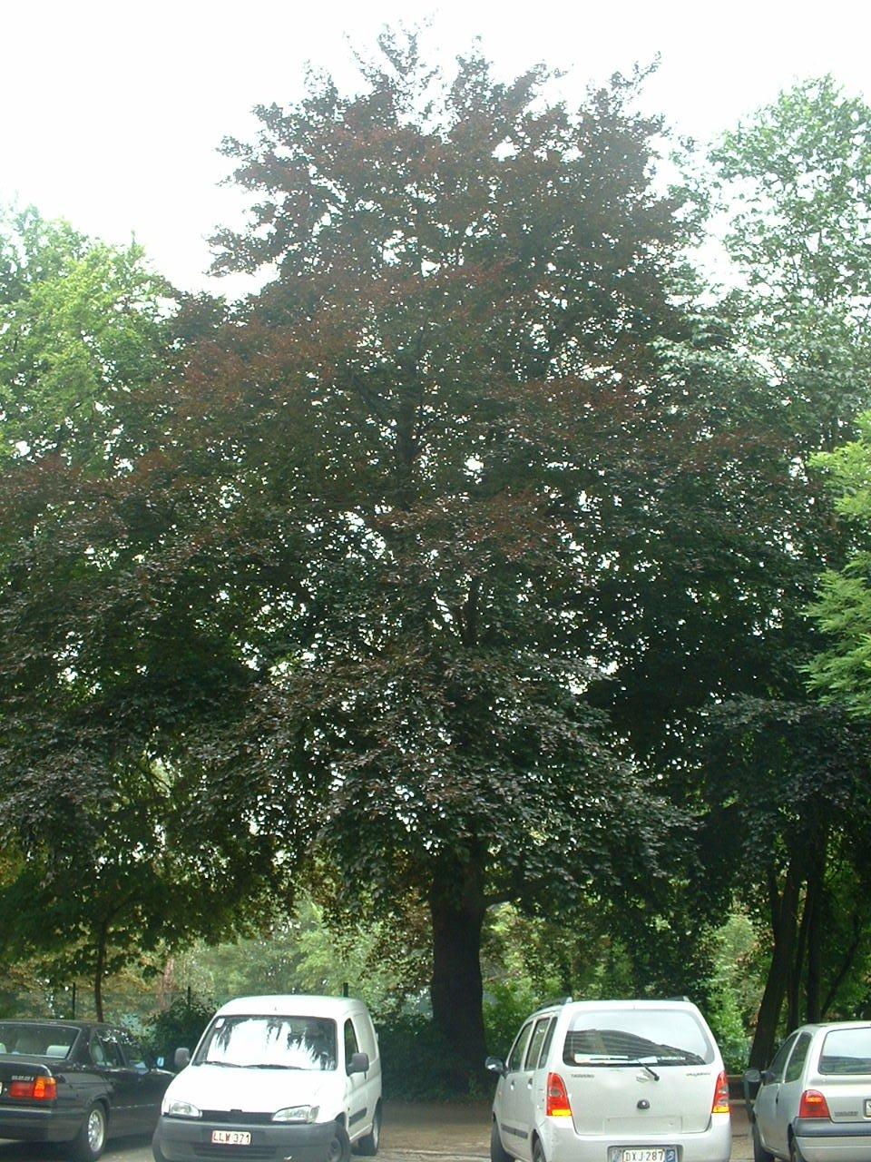 Hêtre pourpre – Forest, Avenue du Domaine, 150 –  07 Juillet 2006