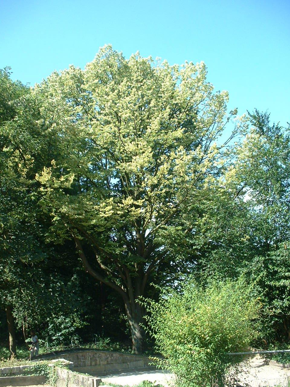 Tilleul argenté – Forest, Avenue Victor Rousseau –  10 Juillet 2006