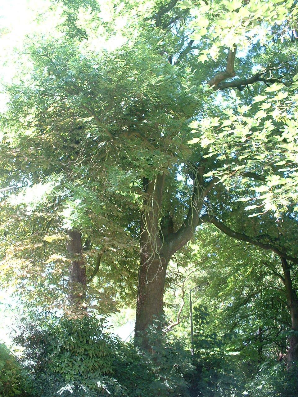 Frêne commun – Forest, Avenue du Domaine, 150 –  10 Juillet 2006