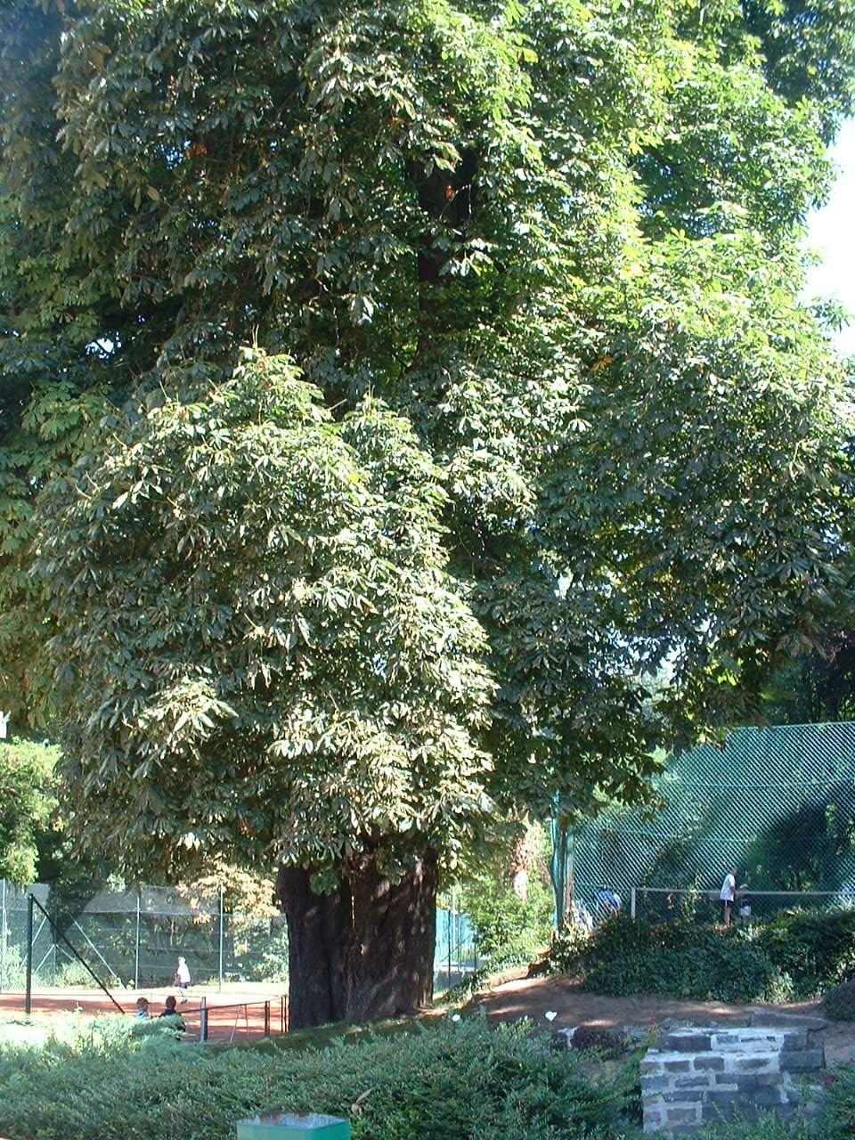 Marronnier commun – Forest, Avenue du Domaine, 150 –  10 Juillet 2006