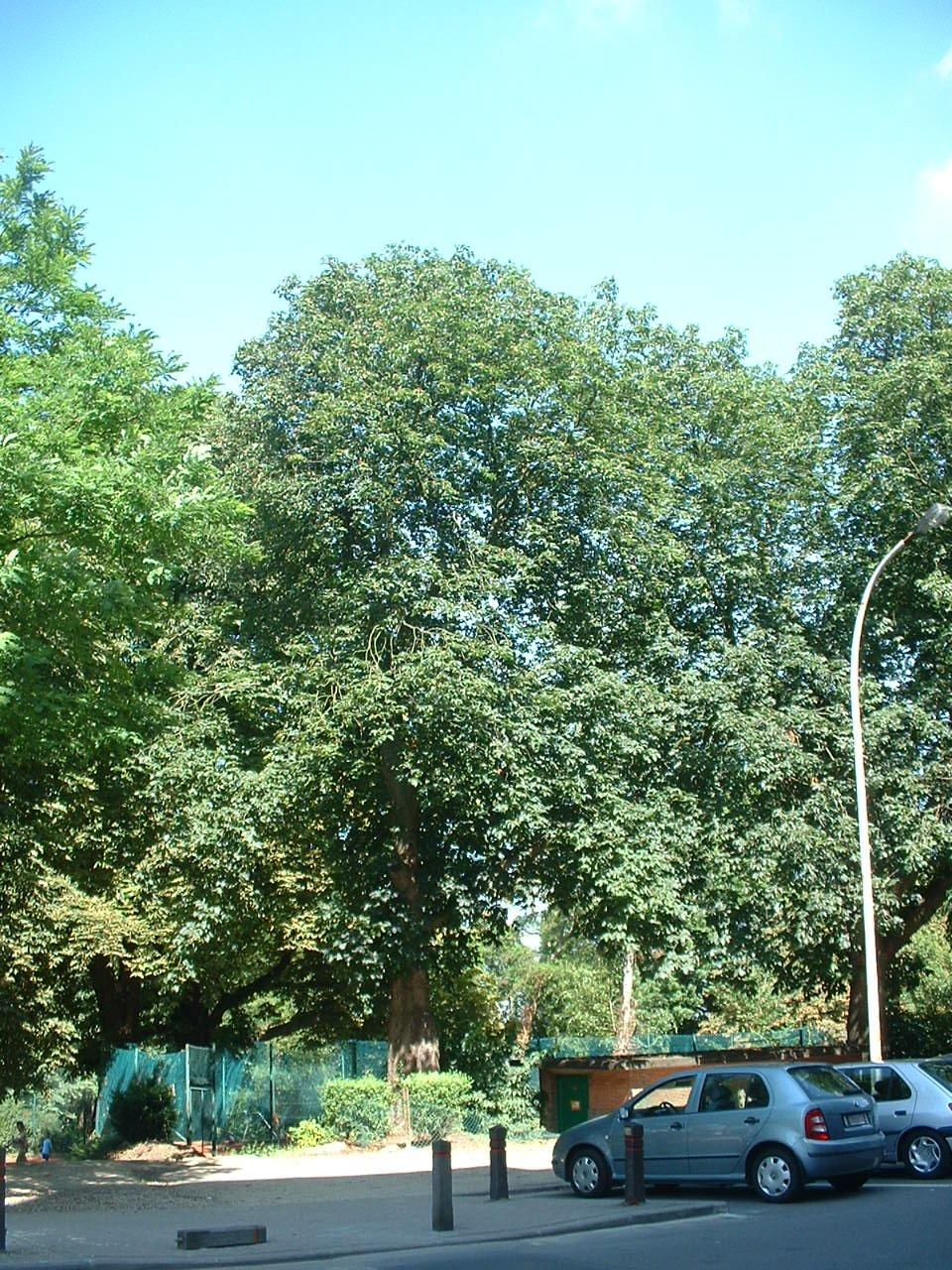 Marronnier à fleurs rouges – Forest, Avenue du Domaine, 150 –  10 Juillet 2006