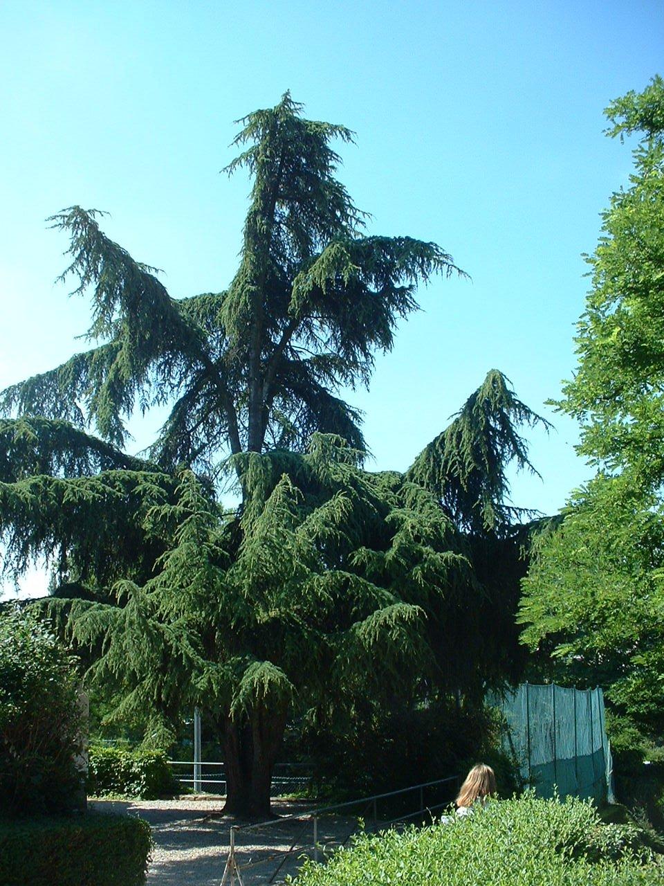Cèdre de l'Atlas – Forest, Avenue du Domaine, 150 –  10 Juillet 2006