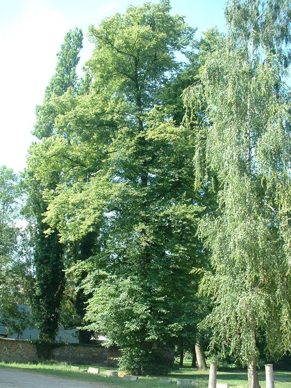 Tilleul commun – Forest, Abbaye de Forest, parc –  12 Juillet 2006