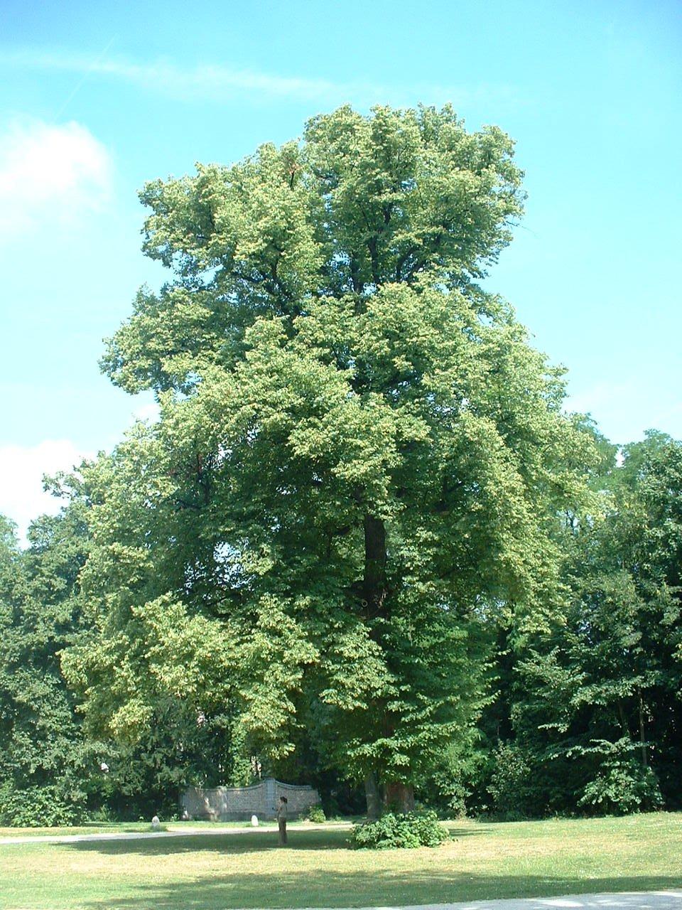 Tilleul à petites feuilles – Forest, Abbaye de Forest, parc –  12 Juillet 2006