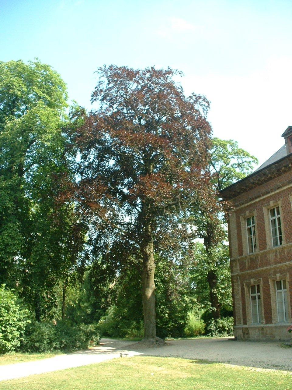 Hêtre pourpre – Forest, Abbaye de Forest, parc –  12 Juillet 2006