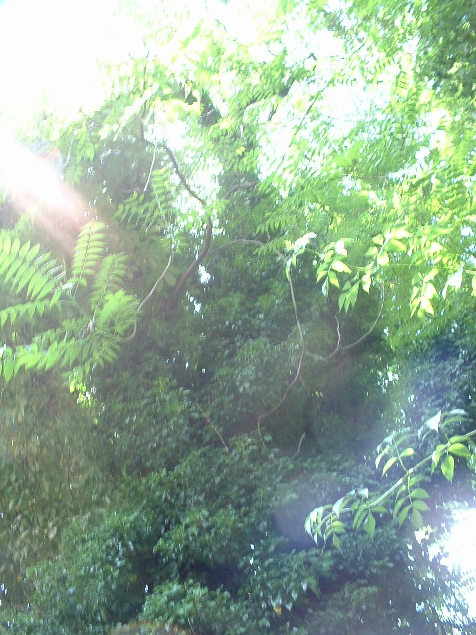 Ailante glanduleux – Forest, Abbaye de Forest, parc –  12 Juillet 2006