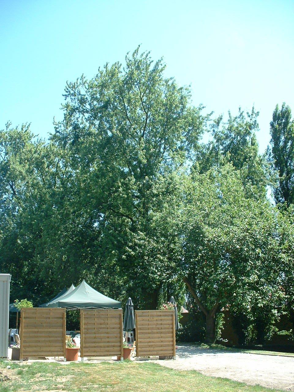 Acer saccharinum var. laciniatum – Forest, Rue Roosendael, 175 –  14 Juillet 2006