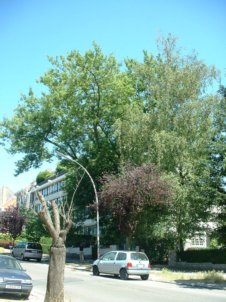 Erable à feuilles de frêne – Forest, Avenue des Sept Bonniers, 198 –  14 Juillet 2006